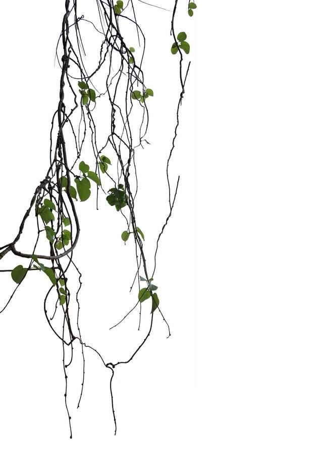 龙爪柳热带雨林中的藤蔓植物园林绿植1078919免抠图片素材