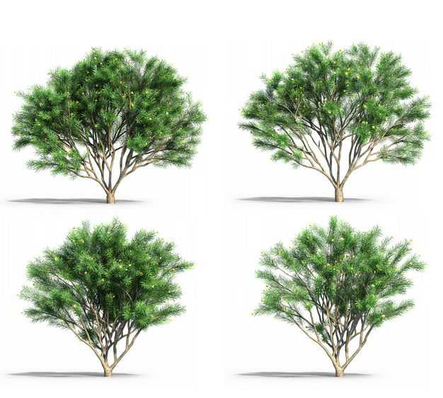 4款翠绿色的蓬莱松大树园林绿植观赏植物2563949免抠图片素材