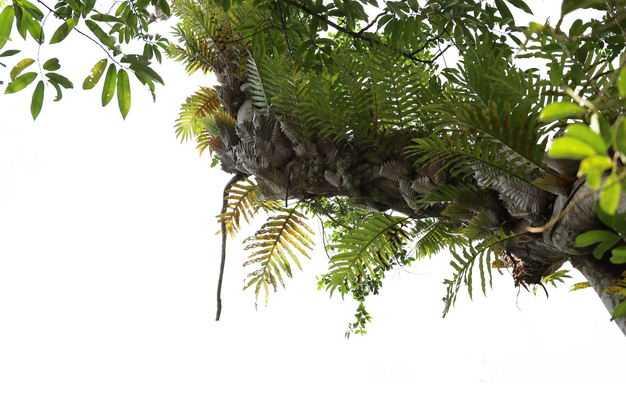 仰视视角的槲蕨热带雨林大树树冠层园林绿植观赏树木6729787免抠图片素材