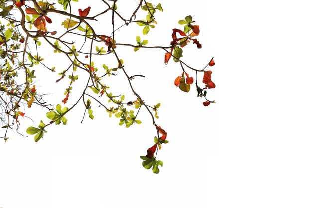 仰视视角的木棉花大树树冠层树枝园林绿植观赏树木9360505免抠图片素材