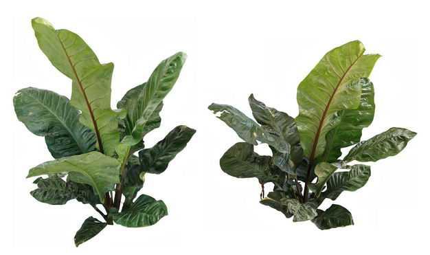 2株长势良好的甜菜叶子18592448201634免抠图片素材