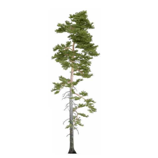 一棵高高的长白松高大的松树柏树园林绿植观赏树木5416724免抠图片素材