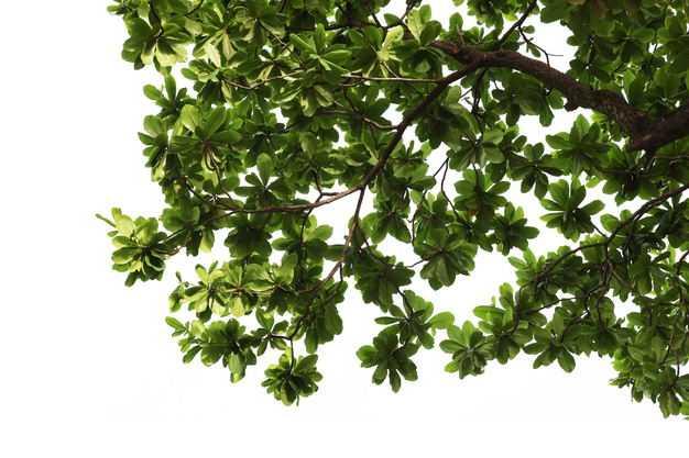 俯视视角的榄仁树大树树冠层园林绿植观赏树木8961354免抠图片素材