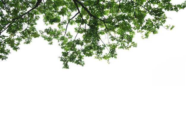 仰视视角的无患子大树树冠层园林绿植观赏树木9185559免抠图片素材