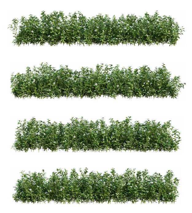 4款女贞灌木丛花丛园林绿植观赏植物花圃园艺植物8945842免抠图片素材
