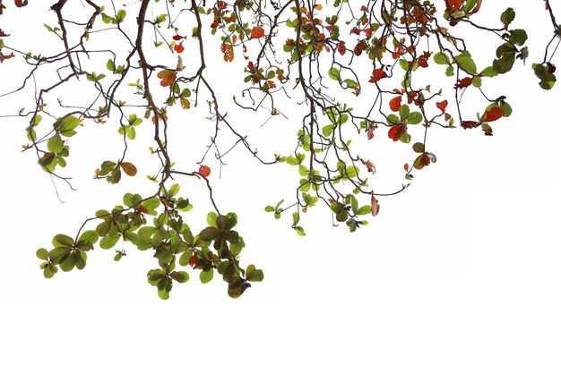 仰视视角的木棉花大树树冠层树枝园林绿植观赏树木7639191免抠图片素材