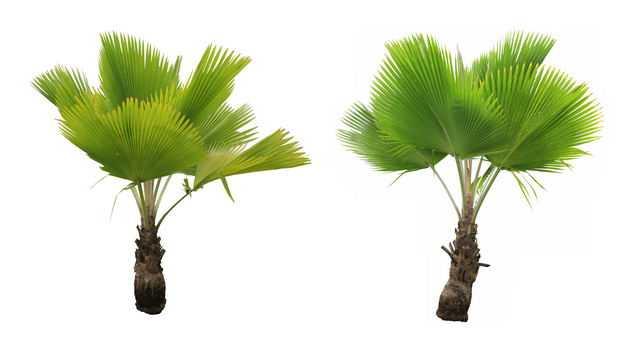 2棵圆叶刺轴榈蒲葵大树园林绿植观赏树木4828207免抠图片素材