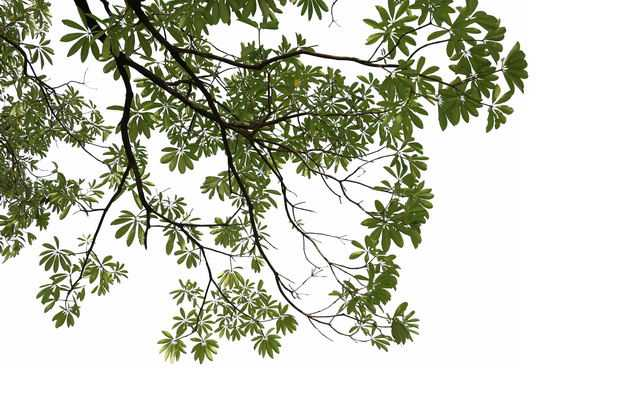 仰视视角的厚朴大树树冠层园林绿植观赏树木5761769免抠图片素材