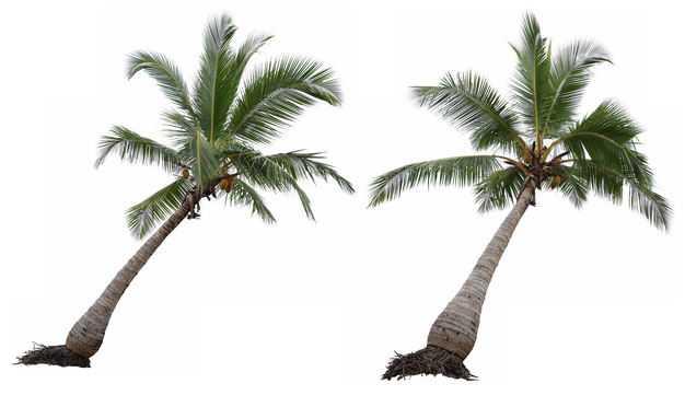 两棵长歪了的椰子树热带树木大树4606463免抠图片素材