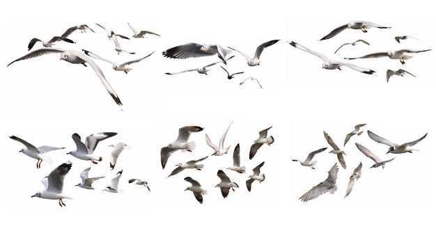 6款飞翔中的海鸥白色鸟儿鸟群6948021免抠图片素材
