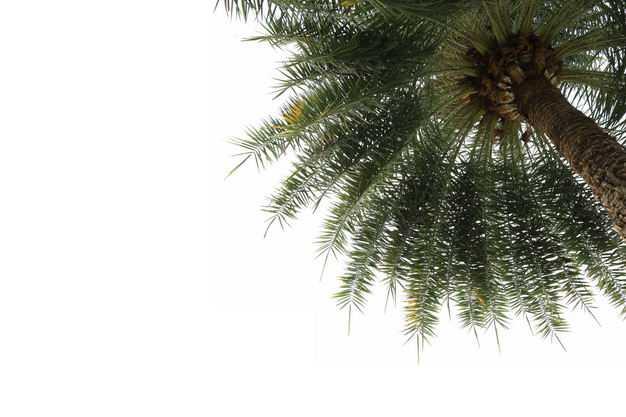 仰视视角的刺葵椰子树热带大树园林绿植观赏树木9265848免抠图片素材