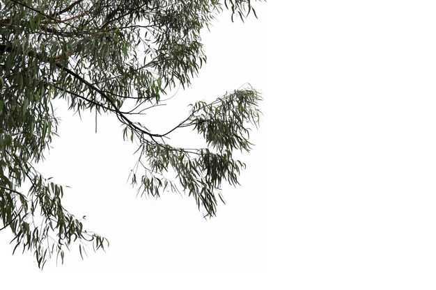 仰视视角的柠檬桉大树树冠层园林绿植观赏树木7140276免抠图片素材