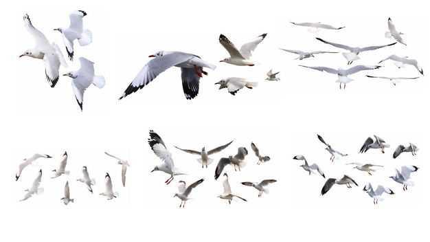 6款飞翔中的海鸥白色鸟儿鸟群4266149免抠图片素材