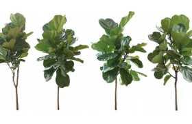 4款琴叶榕小树苗树枝园林绿植观赏植物5320442免抠图片素材