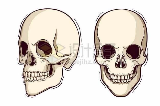 2个不同角度的骷髅头人体头盖骨4490773矢量图片免抠素材