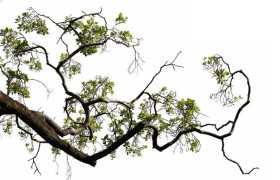 俯视视角的雨树大树树冠层树干树枝园林绿植观赏树木1894225免抠图片素材