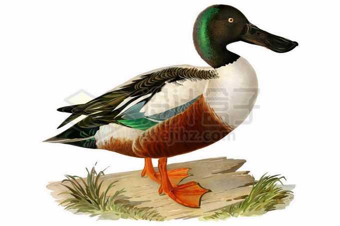 一只可爱的野鸭9280188矢量图片免抠素材免费下载