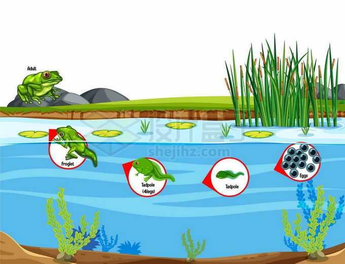 池塘里青蛙的生命周期:卵,蝌蚪生物课插画4765982矢量图片免抠素材免费下载