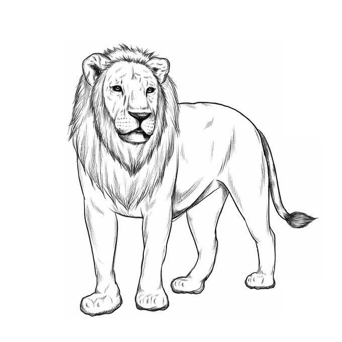 一只站立的雄狮手绘素描风格狮子猫科动物插画5934552免抠图片素材