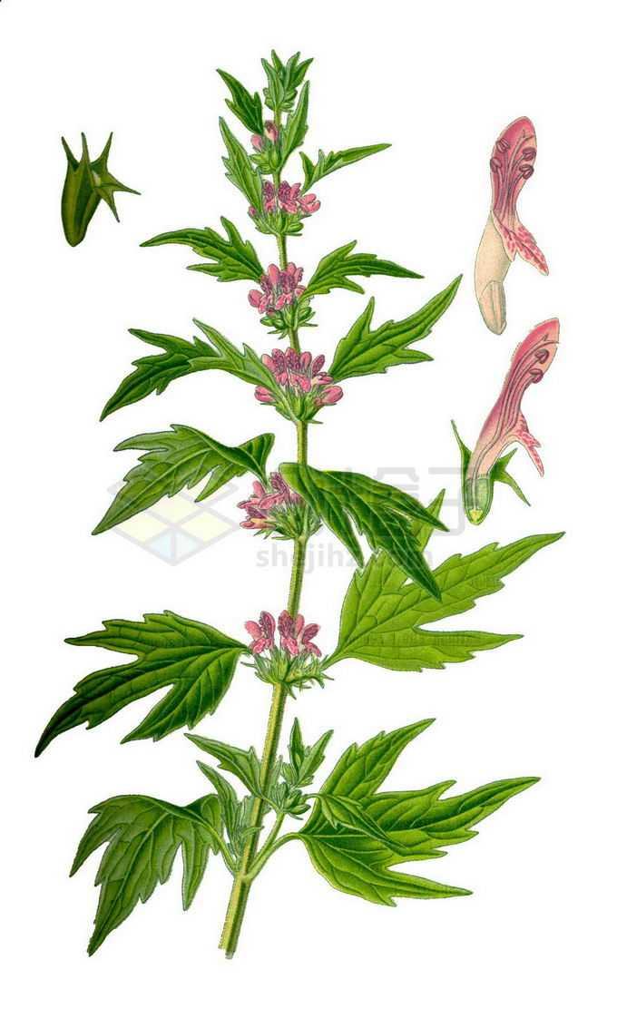 一株益母草中草药材和花朵2646118png免抠图片素材
