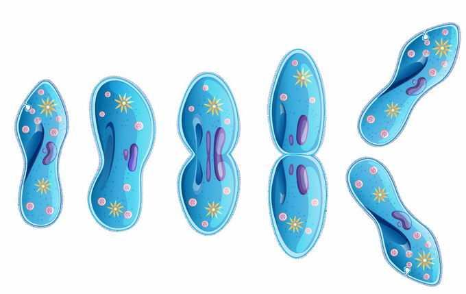 正在进行细胞分裂的草履虫单细胞原生动物微生物7576498矢量图片免抠素材免费下载