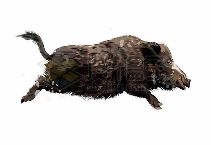 一只猪突猛进飞奔的野猪写实风格水彩插画2433498矢量图片免抠素材免费下载