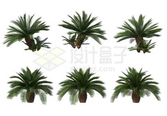 6款铁树苏铁凤尾蕉园林观赏植物7451648免抠图片素材免费下载