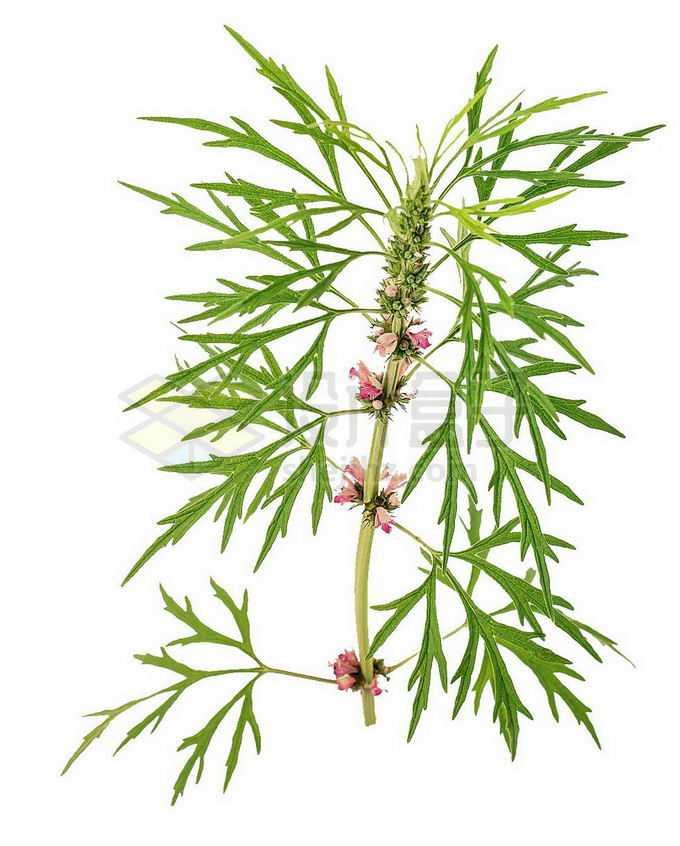 一株叶子茂盛的开花益母草中草药材9464022png免抠图片素材