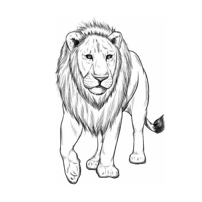 一只雄狮手绘素描风格狮子猫科动物插画8666951免抠图片素材