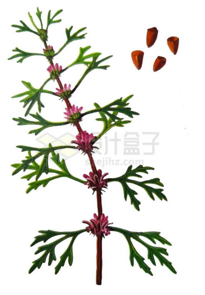 开花结果带种子的益母草中草药材1071437png免抠图片素材