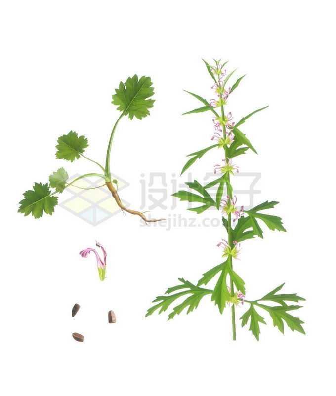 绿色的益母草中草药材和花朵种子3483666png免抠图片素材