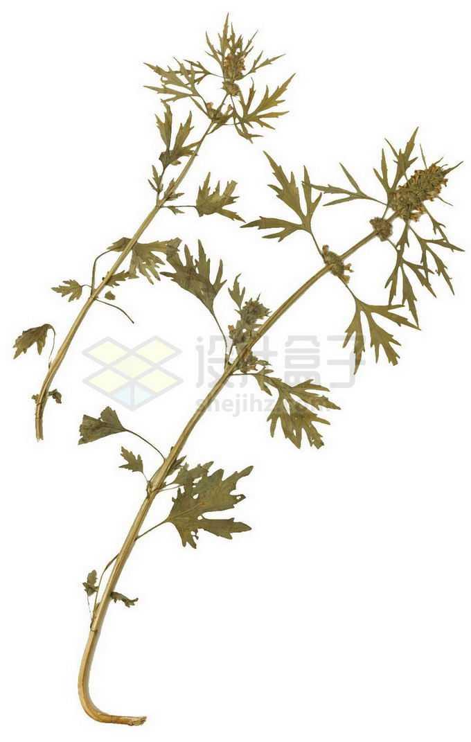 干枯的益母草中草药材标本3948503png免抠图片素材