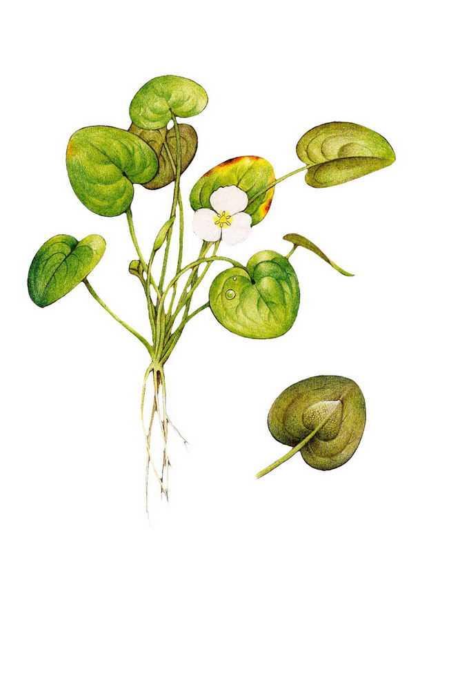 一株开花的水鳖水生植物园林景观绿植4418954png免抠图片素材