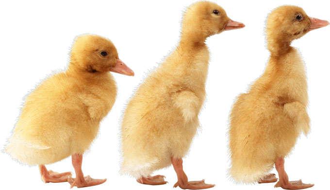 3只可爱的小鸭子小黄鸭9884983png免抠图片素材