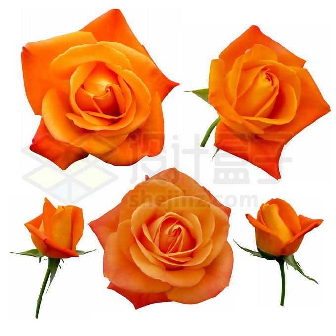各种金色的玫瑰花鲜花花卉花朵8821811免抠图片素材免费下载