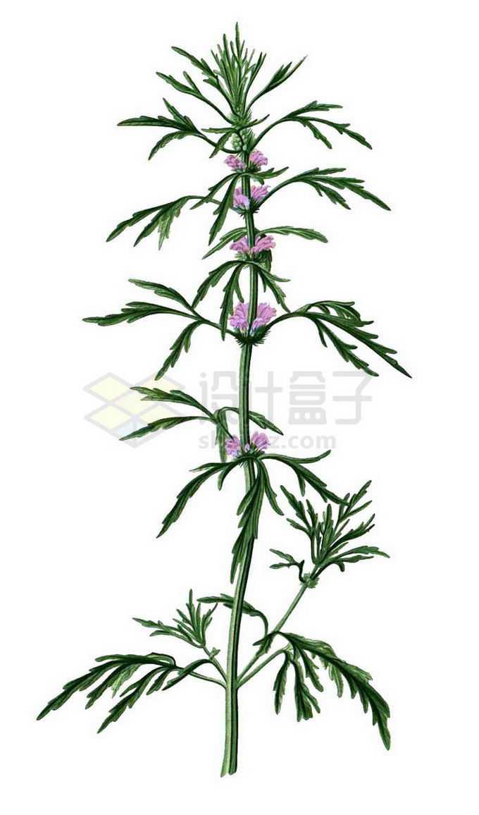 盛开了粉色花朵的益母草中草药材6172976png免抠图片素材