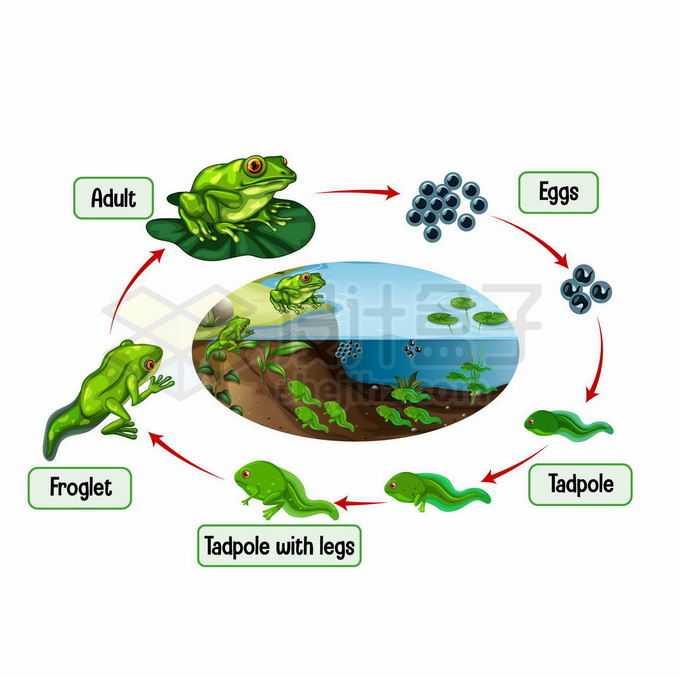 青蛙的生命周期:卵,蝌蚪生物课插画7528620矢量图片免抠素材免费下载