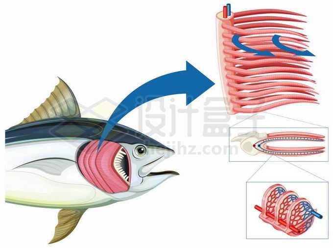 鱼鳃结构和工作原理示意图4247488矢量图片免抠素材免费下载