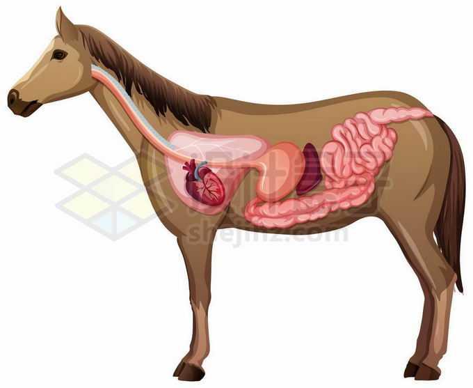 骏马的内脏器官解剖图8120430矢量图片免抠素材免费下载