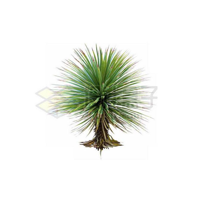 一款3D渲染的丝兰观赏植物绿植4336849免抠图片素材 生物自然-第1张
