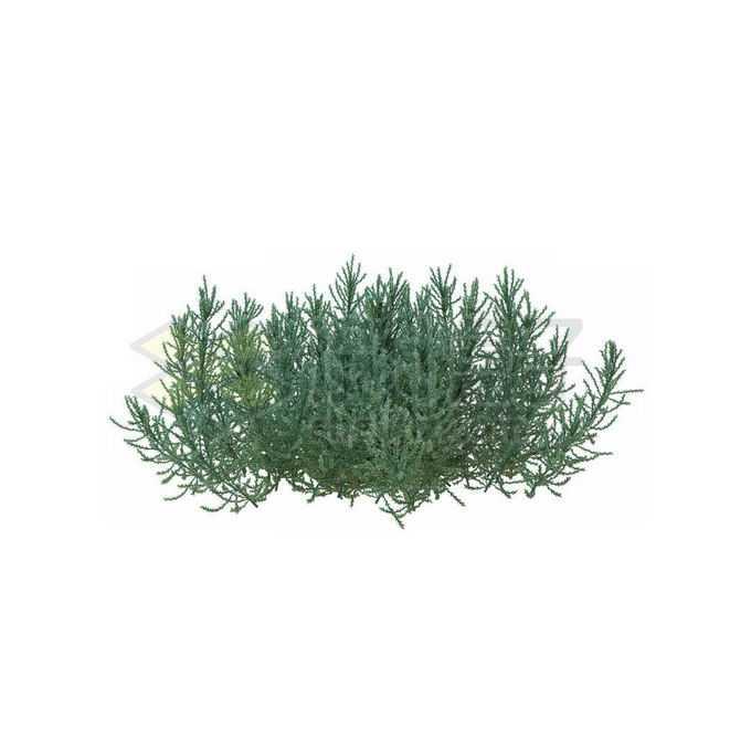 一款3D渲染的龙柏刺柏绿植观赏植物灌木丛4736409免抠图片素材