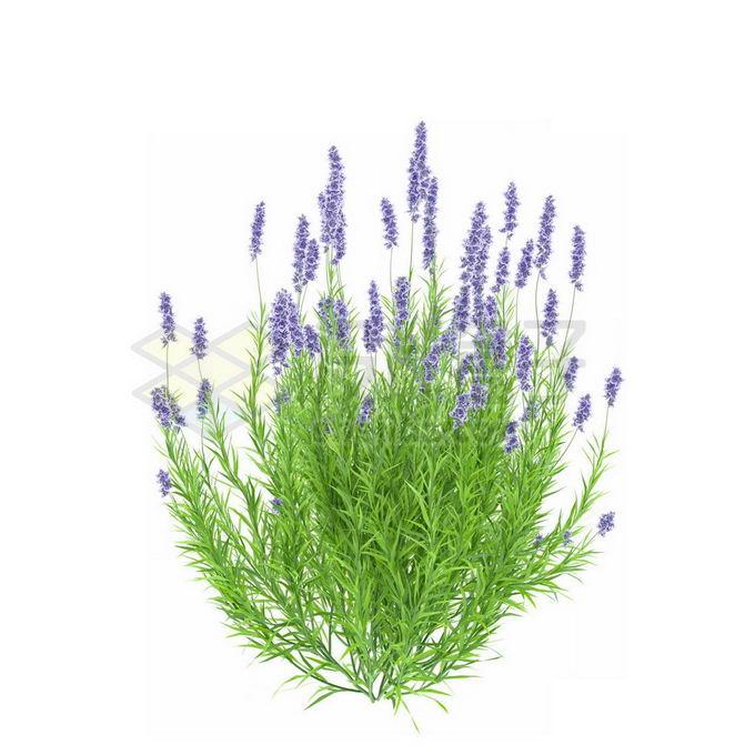 薰衣草香水植物草丛7682373免抠图片素材 生物自然-第1张