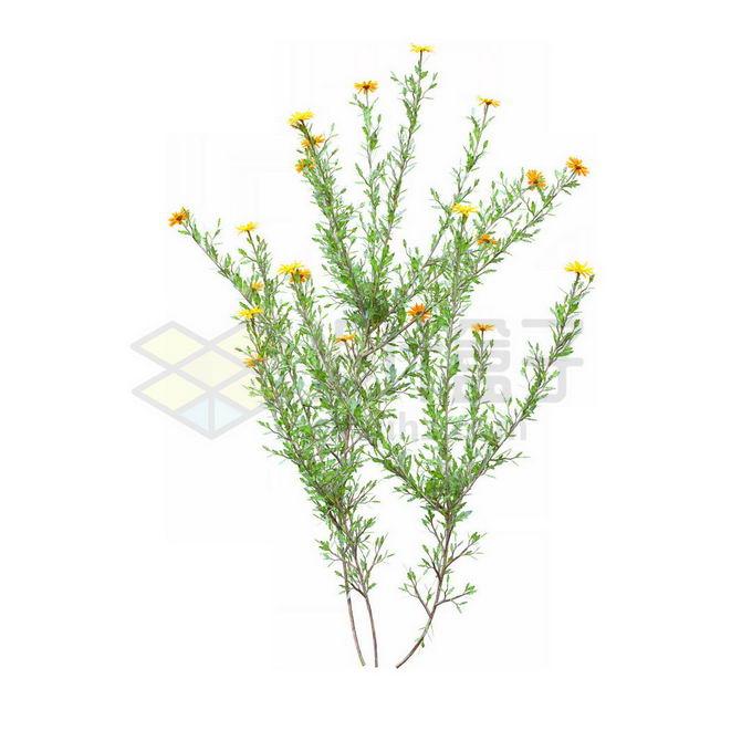 一款3D渲染的盛开黄色小花蓼子朴绿植观赏植物灌木丛2559228免抠图片素材 生物自然-第1张