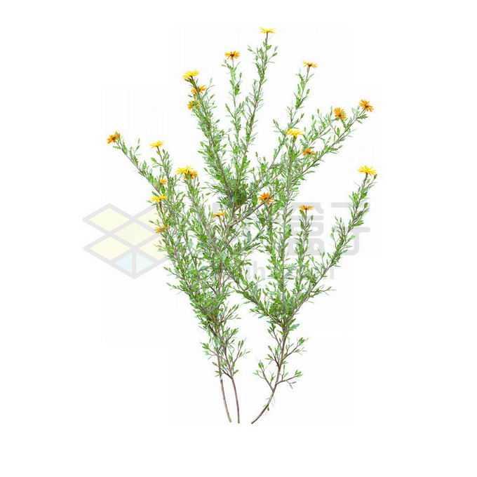 一款3D渲染的盛开黄色小花蓼子朴绿植观赏植物灌木丛2559228免抠图片素材