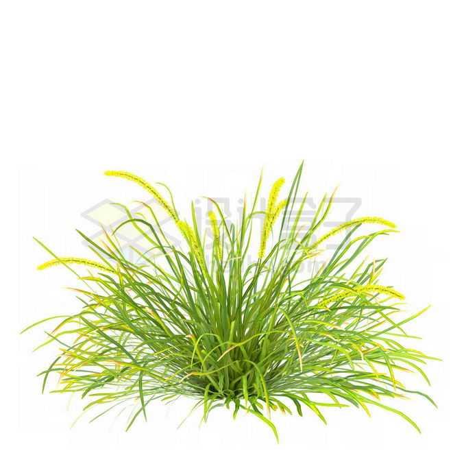青绿色的菖蒲狗尾巴草草本植物野草丛茅草1743514免抠图片素材