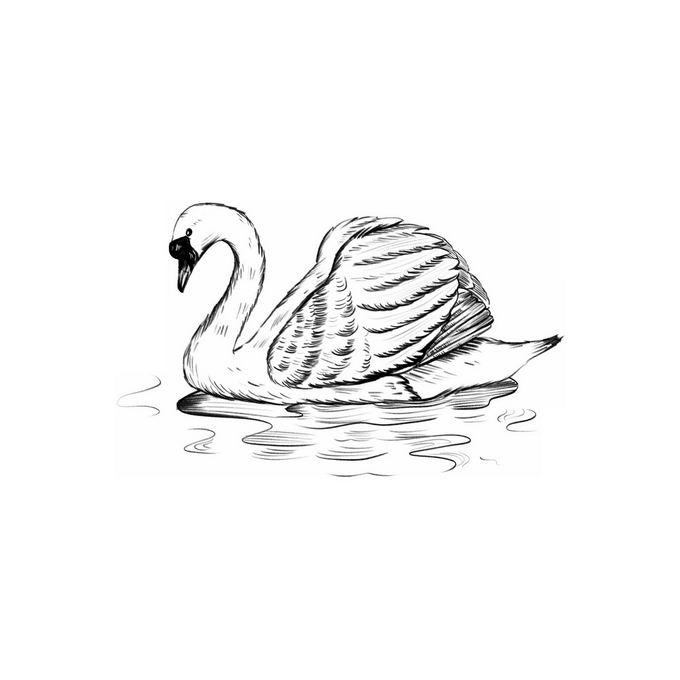 水面上的天鹅手绘素描插画3796853免抠图片素材 生物自然-第1张