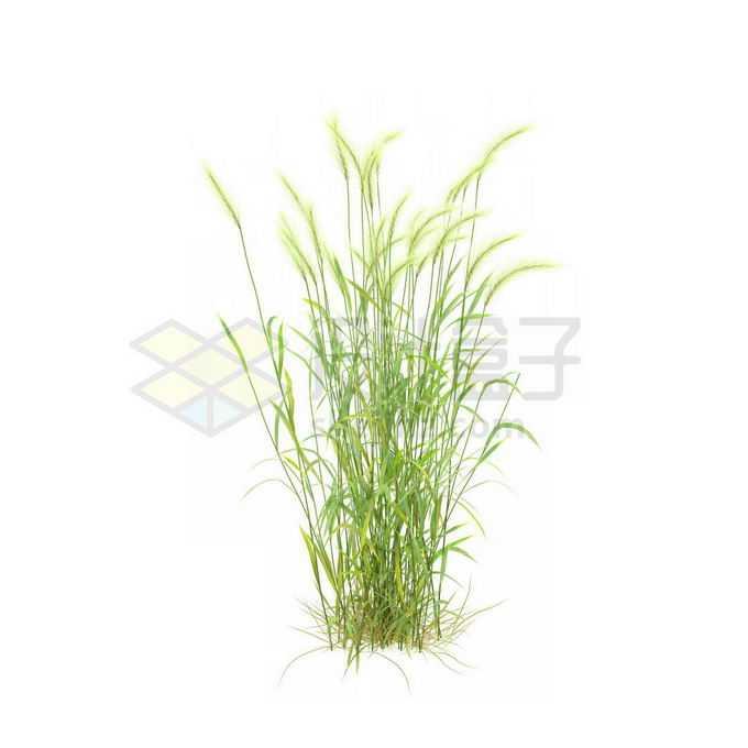 一款3D渲染的类芦杂草丛观赏植物绿植7312346免抠图片素材