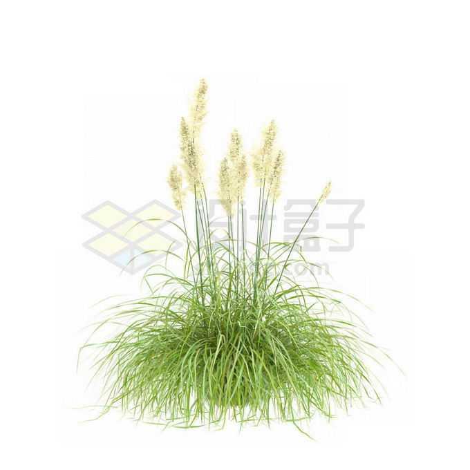 青绿色的蒲苇野草丛茅草4325572免抠图片素材