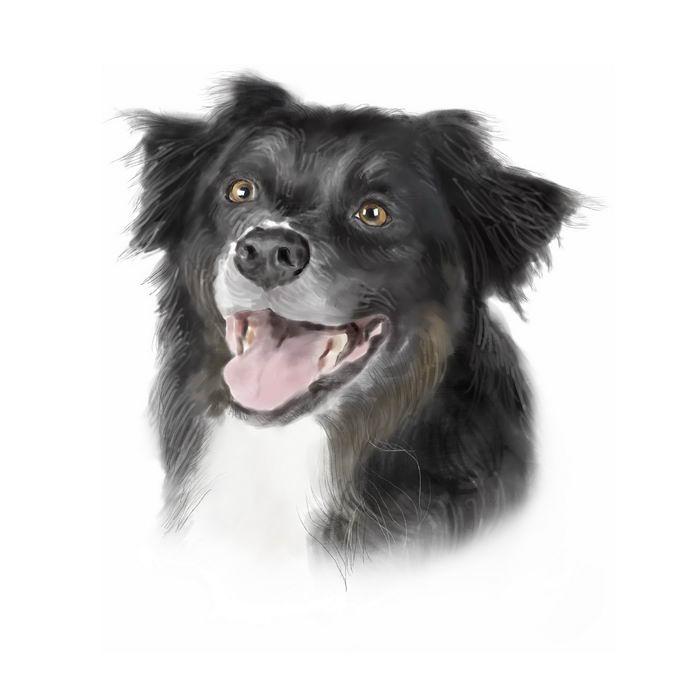 超可爱的边境牧羊犬宠物狗狗头部水彩画插画7942250矢量图片免抠素材 生物自然-第1张