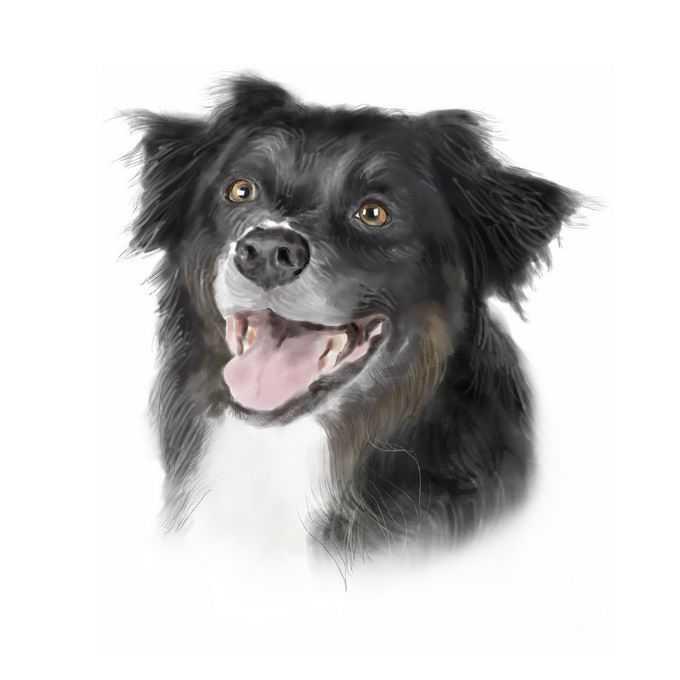 超可爱的边境牧羊犬宠物狗狗头部水彩画插画7942250矢量图片免抠素材